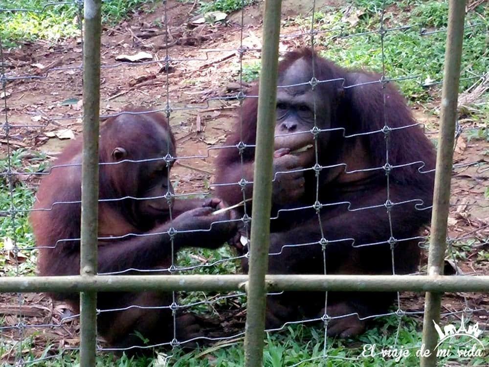 bukit-merah-orangutan-foundation-malasia (2)
