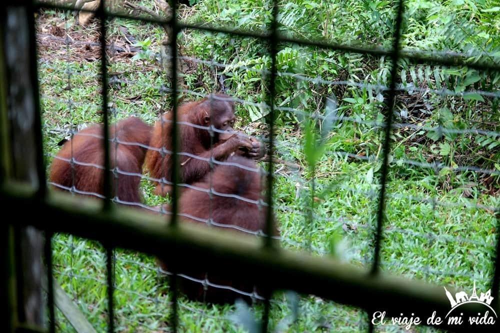 bukit-merah-orangutan-foundation-malasia (5)