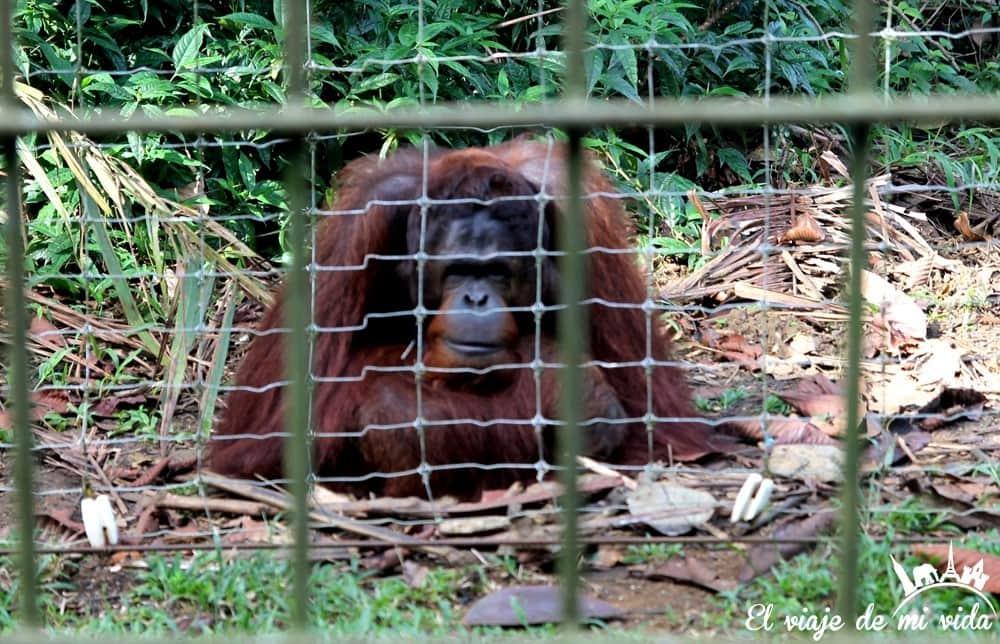bukit-merah-orangutan-foundation-malasia (7)