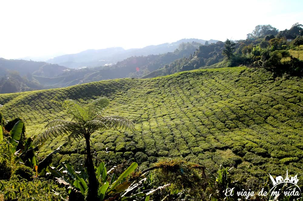 cameron-highlands-malasia (3)