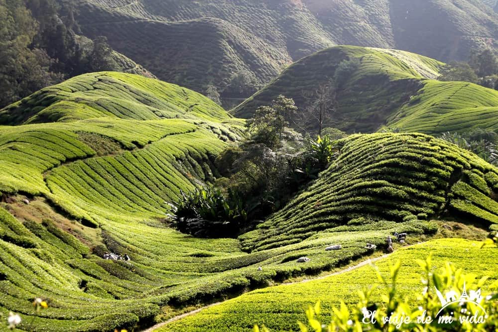 cameron-highlands-malasia (6)
