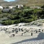 Los pingüinos de la playa de pago de Boulders Beach
